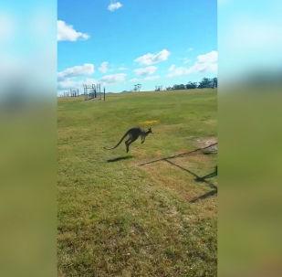 В Австралии произошел забавный случай с неуклюжим кенгуру. Видео опубликовано на Youtube-канале ViralHog.