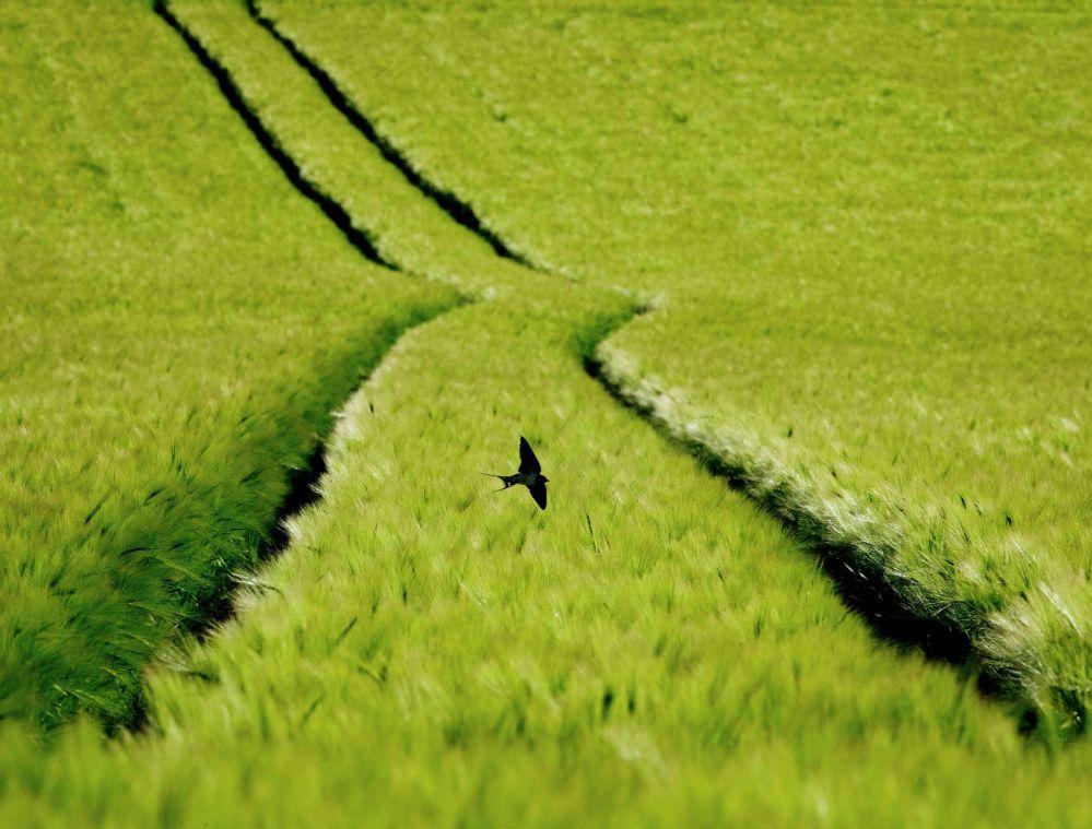 Ласточка летит над пшеничным полем на окраине Франкфурта (Германия)