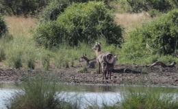 Посетители Национального парка Крюгера в ЮАР стали свидетелями охоты крокодила на водяного козла.