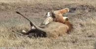 В заповеднике Масаи-Мара на юго-западе Кении туристы сняли на видео свирепую атаку вожака прайда на льва-подростка, который обернулся для последнего тяжелой травмой.