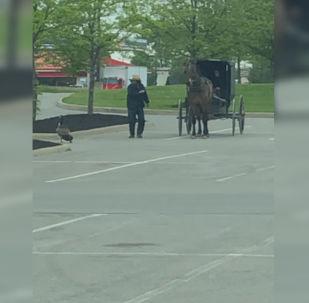 В американском штате Огайо дерзкая гусыня напугала лошадь, запряженную в повозку.