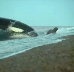 Операторам телеканала BBC Earth удалось запечатлеть удивительные кадры во время съемки морских обитателей. Видео они представили на своем YouTube-канале.