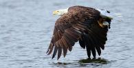 Американский белоголовый орлан. Архивное фото