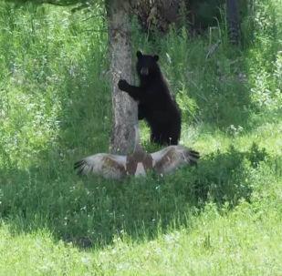 Фотограф дикой природы Джуди Лемберг снял на видео, как медведю пришлось спасаться бегством от журавля.