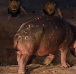 В природном заповеднике MalaMala Reserve в Южной Африке гид Дэниел Бейли стал свидетелем неравного противостояния бегемота и прайда львов.