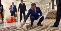Президент Туркменистана Гурбангулы Бердымухамедов подарил главе правительства России Дмитрию Медведеву щенка породы пятнистый алабай в ходе его рабочего визита в Ашхабад.