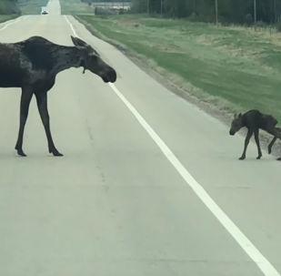 В Канаде очевидцы запечатлели трогательный момент — лосиха учит своего детеныша переходить дорогу.