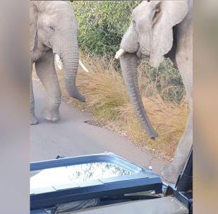 Туристы в Южной Африке запечатлели на камеру двух слонов, которые выясняли отношения.