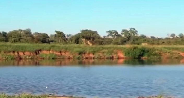 Проводник из национального парка Крюгера (ЮАР) Бонг Ниуюла запечатлел на камеру удивительное спасение антилопы гну от голодных львиц.