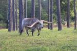 АКШнын Алабама штатындагы лонгхорн породасындагы бука эң узун мүйүздүү жаныбар катары Гиннес китебине кирди.