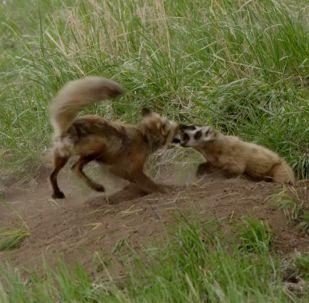 В Йеллоустонском национальном парке в США фотограф дикой природы Джуди Лемберг стала свидетельницей ожесточенной схватки лисы и барсука.
