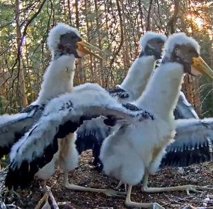 В заповеднике Эстонии видеокамера запечатлела яростную атаку ястреба на гнездо с аистятами.