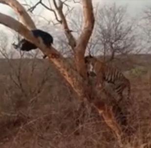 Загнанный на дерево медведь обратил в бегство молодого тигра. Свидетелями редкого противостояния стали посетители индийского национального парка Рантхамбор.