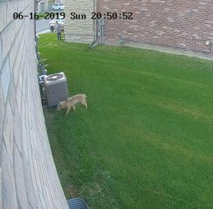 В канадском Онтарио койот напал на двухлетнюю девочку прямо во дворе дома, где она бегала.