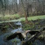 Сүрөттө: Черобылдин тосулган аймагынын ичиндеги бүркүт. Бул күчтүү жаныбардын канчалык жабыркагандыгын эч ким билбейт.