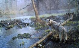 Волк в лесу в зоне отчуждения вокруг чернобыльской АЭС. Апрель 2012 года