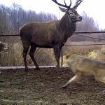 Волки нападают на оленя в зоне отчуждения вокруг чернобыльской АЭС. Апрель 2012 года