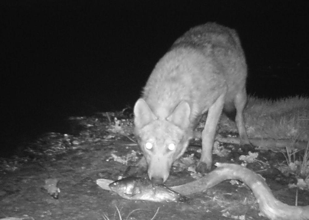 Волк в зоне отчуждения Чернобыльской АЭС
