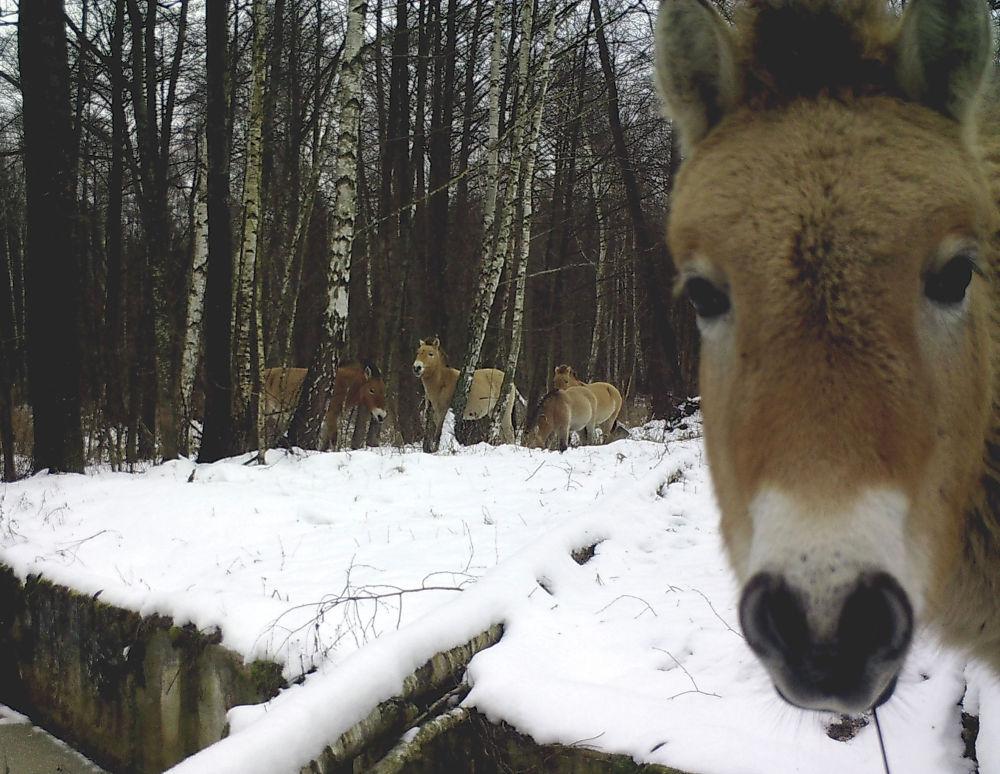 Лошади пасутся в зоне отчуждения вокруг чернобыльской АЭС. Апрель 2012 года