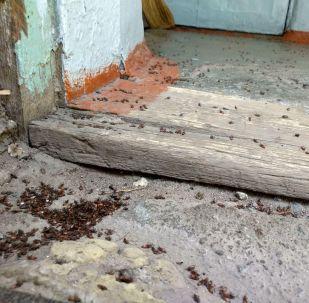 Бишкектиктердин тынчын алып жаткан кара жыгачтын уругунун канталасы