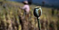 Фермер, работающий на незаконном маковом поле. Архивное фото