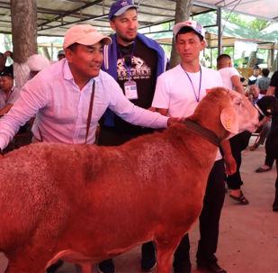 В Казахстане прошел II Международный фестиваль породистых баранов с участием команды из Кыргызстана. Мероприятие провели в селе Колкент Сайрамского района Туркестанской области.