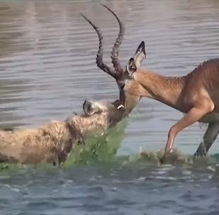 В одном из самых известных заповедников дикой природы в Ботсване туристы стали свидетелями того, как антилопа оказалась в безвыходной ситуации.