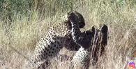 Проводник в национальном парке Крюгера (ЮАР) Тэррин Рэй стала свидетельницей спасения бородавочника от леопардов.