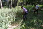 Уничтожение дикорастущей конопли в Чуйской области