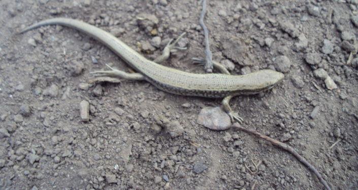 Ящерица на территории Нарынского государственного природного заповедника