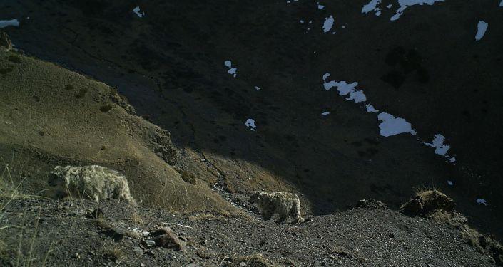 Снежные барсы на территории Нарынского государственного природного заповедника