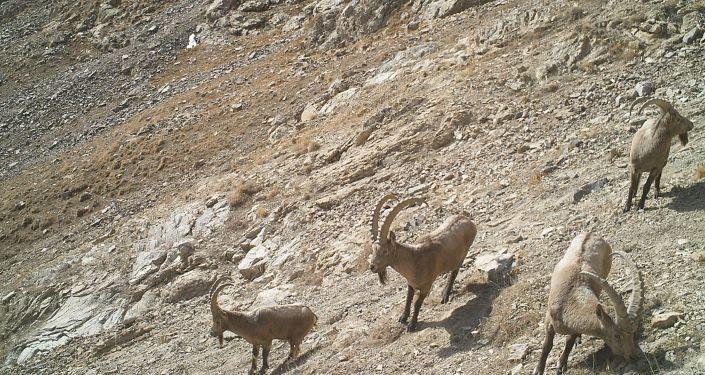 Горные козлы на территории Нарынского государственного природного заповедника