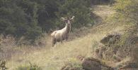 Олень на территории Нарынского государственного природного заповедника