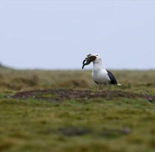 Британскому фотографу Ирен Мендес Круз удалось запечатлеть на видео шокирующий момент, как морская чайка целиком заглатывает кролика. Все произошло за несколько секунд.