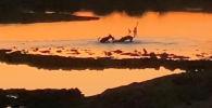 В заповеднике Мадикве на севере ЮАР туристы стали очевидцами охоты стаи диких псов на антилопу.