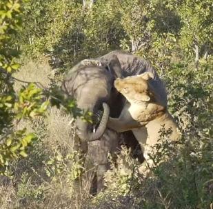 В национальном парке Хванге в Зимбабве туристы стали очевидцами ожесточенной схватки львицы и слоненка.