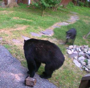 Медведь забрался во двор жилого дома в США в поисках еды, но его прогнал домашний питомец.