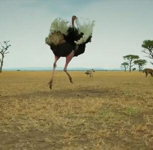 В новом цикле документальных фильмов BBC о дикой природе показано, как страус отбил атаку голодных гиен, защищая своих детенышей.