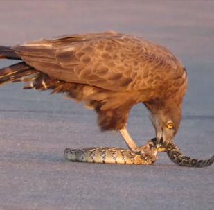 В Национальном парке Крюгера туристы стали очевидцами того, как ястреб растерзал гадюку. Видео опубликовано на YouTube-канале южноафриканского заповедника.