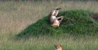 Кениянын түштүк-батышындагы Мара-Масаи коругунда туристтерге жылмаюу тартуулаган арстанды видеого тартып алышкан.