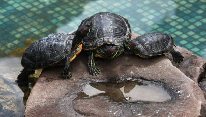 Черепахи. Архивное фото