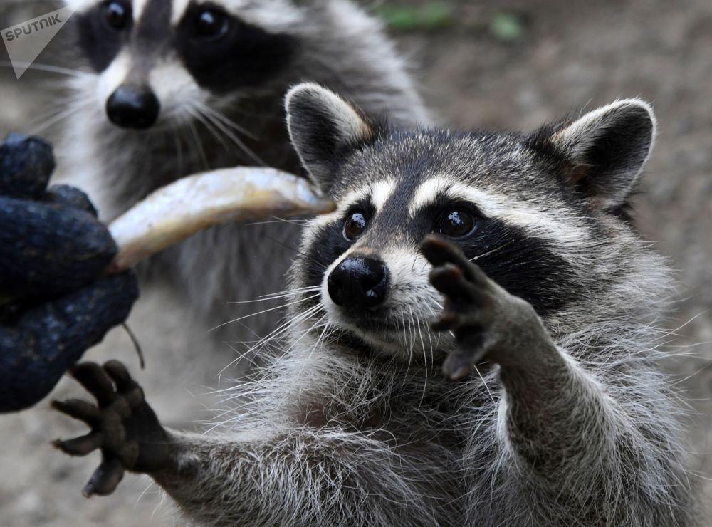 Еноты-полоскуны во время кормления в Приморском сафари-парке. Здесь мирно уживаются гималайские медвежата, барсуки, выдры, лесные коты, лисы, еноты-полоскуны, енотовидные собаки. Посетителей группами запускают в парк, и они имеют возможность наблюдать за животными вблизи.