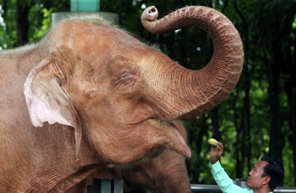 Мужчина кормит слона в Мьянме