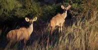 Антилопы. Архивное фото