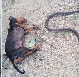 Происшествие случилось в городе Кидапаване на Филиппинах. Таксы Мокси и Майли атаковали ядовитую змею, которая пыталась пробраться в спальню к ребенку.