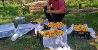 Фермер собирает урожай урюка в Джети-Огузском района Иссык-Кульской области