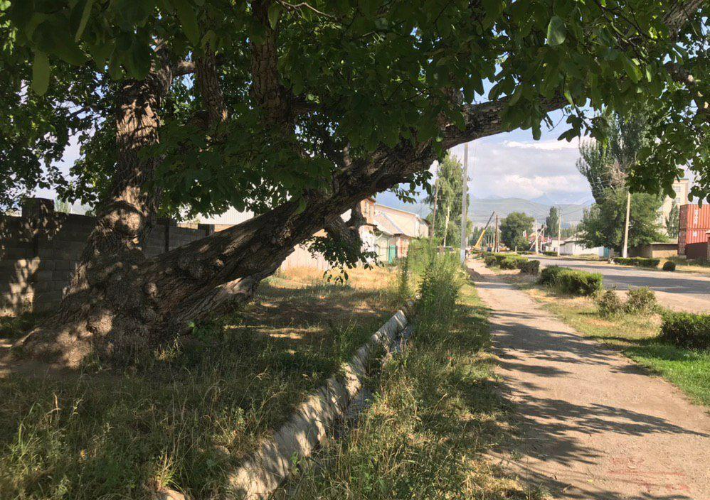 Орех растущий больше века на улице Жусупа Абдрахманова в городе Каракол