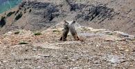 В национальном парке Глейшер (США) турист снял на видео схватку двух сурков.