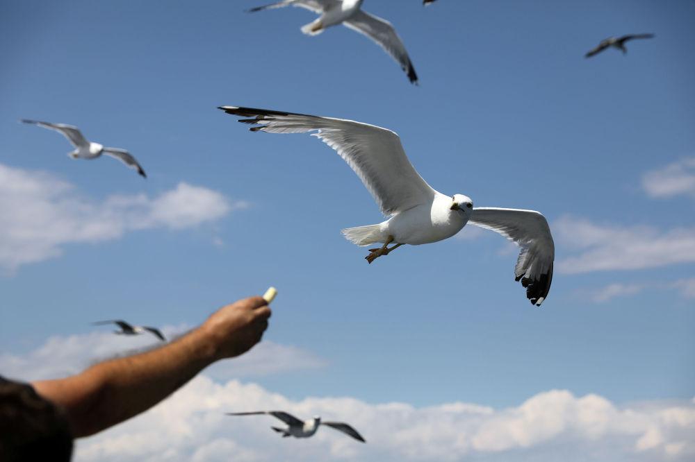 Мужчина протягивает еду чайкам во время путешествия на пароме на острове Тасос (Греция)