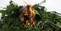 Уничтожение дикорастущей конопли. Архивное фото